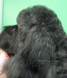 Pet Grooming: The Good, The Bad, & The Furry: Scissoring Heads Schnauzer Grooming, Dog Grooming Tips, Poodle Grooming, Dog Grooming Styles, Dog Grooming Salons, Havanese Dogs, Havanese Haircuts, Dog Haircuts, Goldendoodles