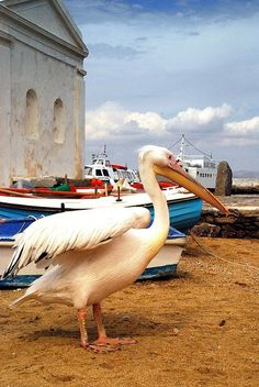I´m telling you! He is a big ass pelican! I´ve met him and he almost reaches my chest! -A special islander Mykonos.Petros the Pelican, an Island icon Mykonos Island, Mykonos Greece, Santorini, Crete Greece, Athens Greece, Cheat Meal, Beautiful World, Beautiful Places, Places To Travel
