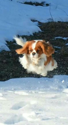 Who thinks cavaliers are only lap dogs? Well, that is not accurate. Cavaliers are Spaniels and have the same love of outdoors and wildlife that characterize the Spaniels.