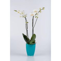 Orchidee White in pot glas Blue