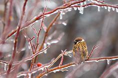 Eurasian Tree Sparrow. Photo by Irene Mei