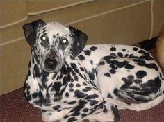 Dog Ear Infection Remedy thumbnail