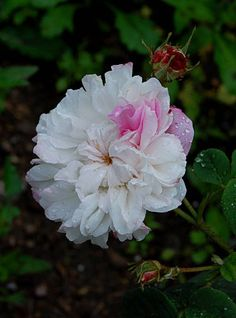 Gallica Rose: Rosa 'L'Enchanteresse' (Belgium, before 1826)