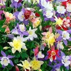 Aquilegia Caerulea, the botanical name for Columbine, is easy to grow from flower seeds. This Columbine seed mix has several different colors. Beautiful Flowers Garden, Pretty Flowers, Wild Flowers, Unique Flowers, Cut Flowers, Beautiful Birds, Colorful Flowers, Hardy Perennials, Flowers Perennials