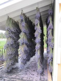 harvested lavender drying