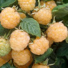 Keltavadelma Fallgold - Viherpeukalot