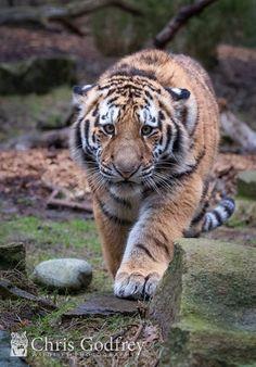 Amur Tiger by Chris Godfrey