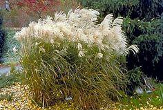 Ornamental grasses for Minnesota : Yard and Garden : Garden : University of Minnesota Extension