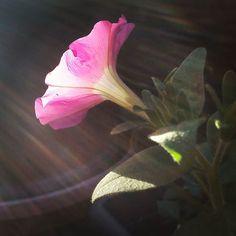 Pink #petunia flower