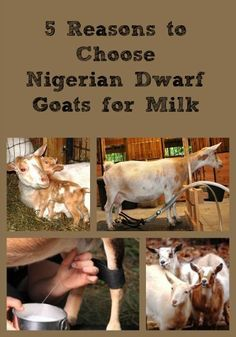 Explains why goat milk and Nigerian Dwarf goat milk in particular is becoming so popular - nutritious, healthy, delicious, convenient, and cost effective.