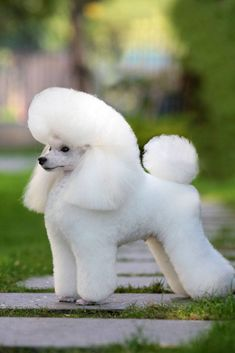 Beautiful Poodle caniche