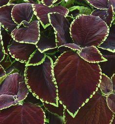 ZA015 Koleus hybridný (africká pŕhľava) ´SUN CHOCO MINT´   E-shop   LUMIGREEN.sk - Váš obľúbený internetový obchod s rastlinami Tropical Plants, Plant Leaves