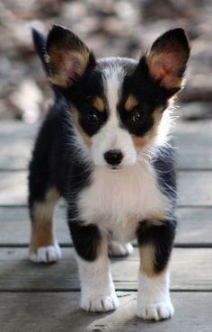 """Aussie-CorgiAustralian Shepherd or Miniature Australian Shepherd / Welsh Corgi Hybrid - The dog has short legs and is low to the ground with a long body. It has a long thick tail, perk ears and one blue eye and one dark eye. His nose is black. There is a blue with red lighter on the ground under him.Clark the Pembroke Welsh Corgi / Toy Australian Shepherd mix breed dog at 6 months old—""""This is Clark, our young Pembroke Welsh Corgi/Toy Australian Shepherd cross. We own both of his parents,"""