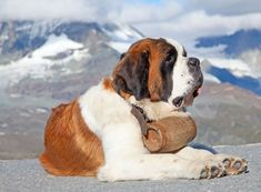 The 20 Most Expensive Dog Breeds in the World St Bernard Rescue, St Bernard Puppy, Rescue Dogs, Pet Dogs, Most Expensive Dog, Dog Pee, Purebred Dogs, Alaskan Malamute, Tier Fotos