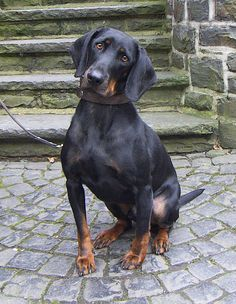 #Austrian Black and Tan #Hound - want to know more about this #dog? Click on the photo!