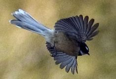 Fantail Nz Art, Blue Jay, Birds In Flight, New Zealand, Animals, Animales, Animaux, Animal Memes, Animal