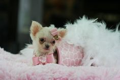 ⚜ Store: ⚜ Hours: a. Micro Teacup Pomeranian, Dog Boutique, Chihuahuas, Buy 1, I Love Dogs, Store, Cute, Animals, Animales