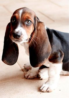 .What a beautiful basset hound puppy. This tricolored basset basset has the most beautiful eyes.
