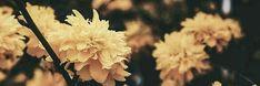 Yellow flowers Twitter Header Aesthetic, Twitter Header Photos, Twitter Layouts, Twitter Headers, Blush Flowers, Flowers In Hair, Yellow Flowers, Flower Header, Tumblr Yellow