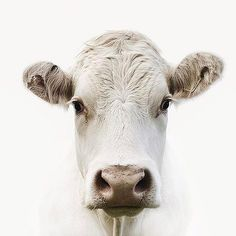 Do you know the story of the white cow? Watch her story, video link on my bio.  #Please #IBegYou #FreeYourSlaves #KeepAnimalsOffYourPlate 💔😭