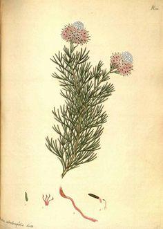 111883 Protea abrotanifolia Andrews var. hirta / The botanist's repository [H.C. Andrews], vol. 8: t. 522 (1807-1808) [H.C. Andrews]