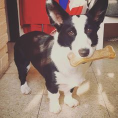 I am going to hide my bone until Nox comes ... Pembroke Welsh Corgi, Goats, Cow, Animals, Animales, Animaux, Cattle, Animal, Animais