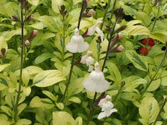 Sage - Salvia x jamensis - Great creamy flowers on variagated yellow/green leaves