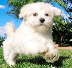 Maltipoo is a designer dog breed made by crossing Maltese with Toy Poodles. Maltipoo is one of the cutest designer dog breeds. Maltese Dog Breed, Maltipoo Dog, Maltese Poodle, Designer Dogs Breeds, Dog Design, Dog Days, Dog Breeds, Cute, Animals