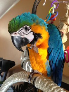 Baby Blue and Gold Macaw, so adorable!!!!!!