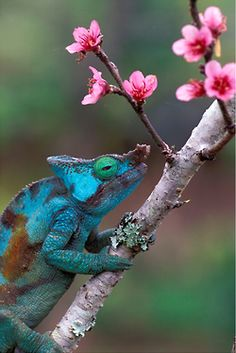 """.  """"CHAMELEON AND PEACH FLOWERS"""" by Wolfgang Kaehler"""