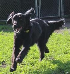 Tootsie is an adoptable Flat-Coated Retriever Dog in Fergus Falls, MN. Tootsie was picked up as a stray near Highways and near Underwood, MN on She is a young femal. Flat Coated Retriever, Retriever Dog, Fergus Falls, Dog Facts, Binky, Animal Shelter, Cute Dogs, Meet, Coats