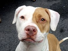 TO BE DESTROYED - MONDAY - 5/19/14 Manhattan Center -P  My name is FLO. My Animal ID # is A0998136. I am a female tan and white pit bull mix. The shelter thinks I am about 3 YEARS old.  I came in the shelter as a OWNER SUR on 04/29/2014 from NY 10466, owner surrender reason stated was MOVE2PRIVA. I came in with Group/Litter #K14-175538.