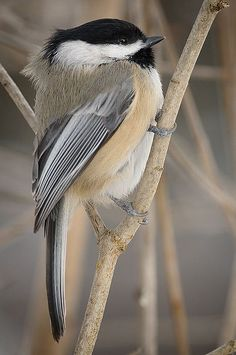 chickadee.  Sweet birds