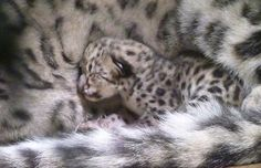 Baby snow leopard at the philly zoo.  Beautiful.