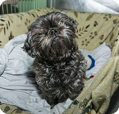 Lola the Shih Tzu is available for adoption at the Humane Society of New York.