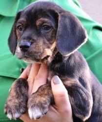 Doylestown Blackbrown Adoptable Brindle Puppies Beagle
