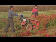 Máy thu hoạch ớt cầm tay cực kì đơn giản và hiệu quả của nông dân Nhật