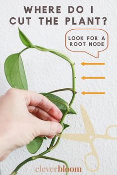 Learn the easiest way to multiply the plants you already have at home! Propagate your plants by learning how to root plant cuttings in water. Hoya Plants, Pothos Plant, Plant Cuttings, Rooting Plants, Potted Plants, Propogate Succulents, Propogating Plants, Pothos In Water, Water Plants Indoor