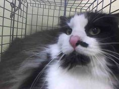 TO BE DESTROYED 8/24/14<br />Brooklyn Center<br /><br />My name is TRUNCHBULL. My Animal ID # is A1010341.<br />I am a spayed female black and white domestic lh mix. The shelter thinks I am about 8 YEARS old.<br /><br />I came in the shelter as a STRAY on 08/13/2014 from NY 11208, owner surrender reason stated was STRAY.<br /><br />MOST RECENT MEDICAL INFORMATION AND WEIGHT<br />08/21/2014 Exam Type RE-EXAM - Medical Rating is 3 C - MAJOR CONDITIONS , Behavior Rating is NH ONLY, Weight 15.5…