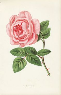 Antique rose prints from Jamain 1873 Antique Illustration, Nature Illustration, Illustration Sketches, Botanical Illustration, Botanical Flowers, Flowers Nature, Botanical Art, Vintage Botanical Prints, Botanical Drawings