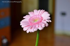 gerbera in my room