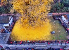 This towering gingko tree is located within the walls of the Gu Guanyin Buddhist Temple in the Zhongnan Mountains in China. Every autumn the green leaves on the 1,400-year-old tree turn bright yellow