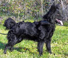 Aunque el mudi no es muy popular, es una raza reconocida por su gran capacidad de aprender. Los mudi destacan en el adiestramiento canino, pudiendo ser entrenados para múltiples funciones. Estos perros realizan funciones de pastoreo, como perros boyeros, perros antinarcóticos, perros de guardia, etc.