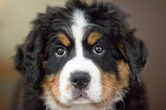 We can't wait to meet you Madi! A big Berner welcome to the newest addition to the Berlin family!