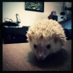 hedgehog on the move