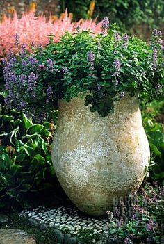 NEPETA X FAASENII PLANTED IN AN URN