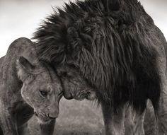ネコ科ヒョウ属ライオン