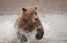 Running for salmon by Ursula Dubrick, via 500px