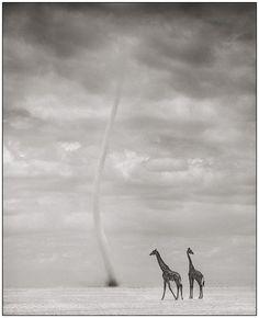 Giraffes with Dust Devil, Amboseli 2007 Nick Brandt