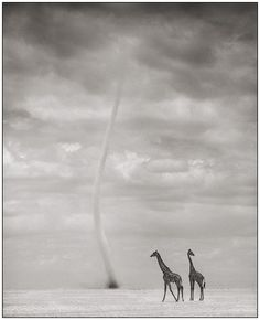 Giraffes with Dust Devil, Amboseli 2007 Nick Brandt